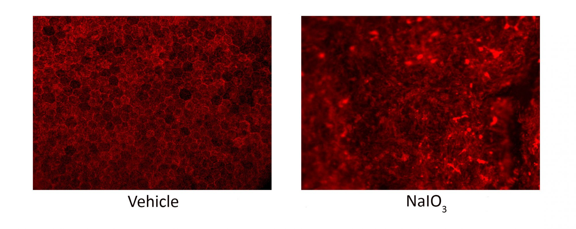 RPE phalloidin staining in NaIO3 model